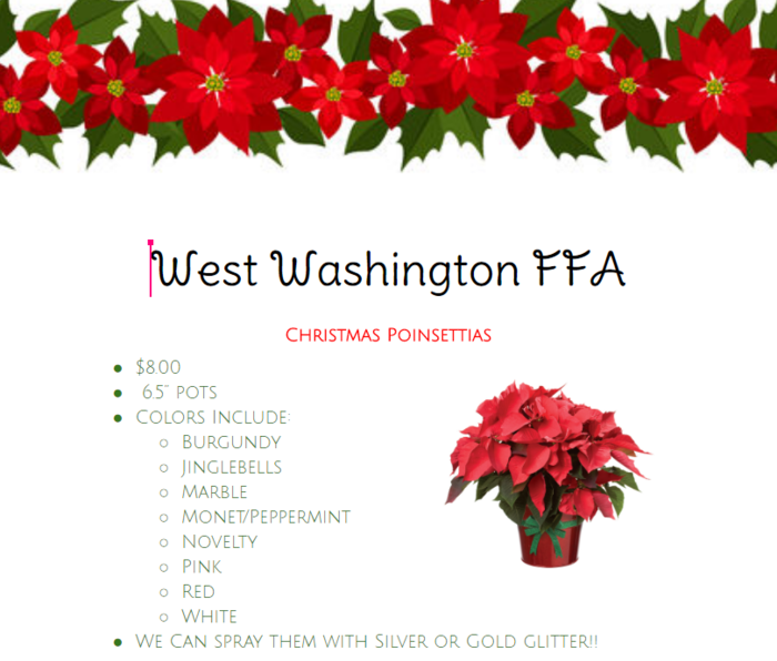 Large_poinsettas